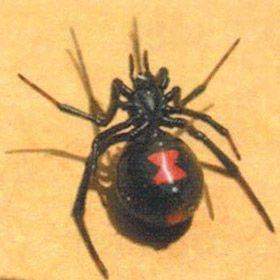 Black Widow Spider with hourglass on abdomen